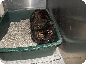 American Shorthair Cat for adoption in Olney, Illinois - Turtle