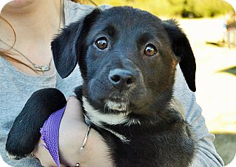 Labrador Retriever/Labrador Retriever Mix Puppy for adoption in Searcy, Arkansas - Lana