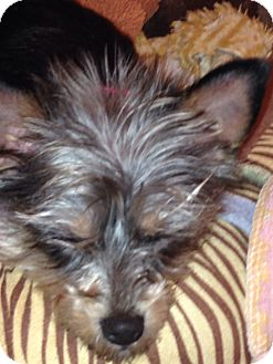Yorkie, Yorkshire Terrier Mix Dog for adoption in Worcester, Massachusetts - Winnie the toy hoarder