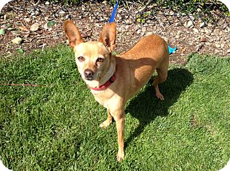 Miniature Pinscher/Chihuahua Mix Dog for adoption in Mission Viejo, California - Selena