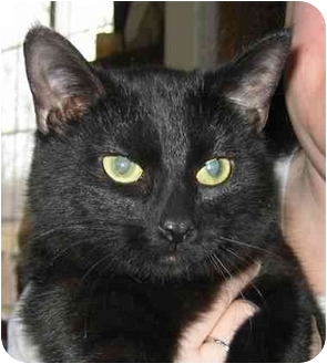 Bombay Kitten for adoption in Plainville, Massachusetts - Cleo