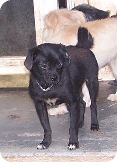 Pug/Chihuahua Mix Dog for adoption in Greensboro, Georgia - Bo Peep
