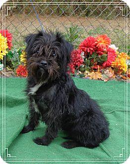 Affenpinscher Mix Dog for adoption in Marietta, Georgia - PEBBLES