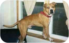 American Pit Bull Terrier Dog for adoption in Cary, Illinois - Colby
