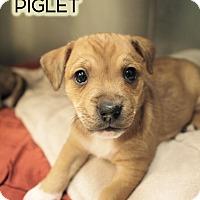 Adopt A Pet :: Piglet - New York, NY