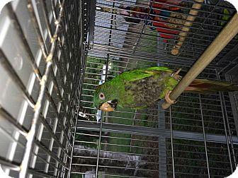 Conure for adoption in Punta Gorda, Florida - Drama Queen
