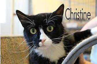 Domestic Shorthair Cat for adoption in Wichita Falls, Texas - Christine