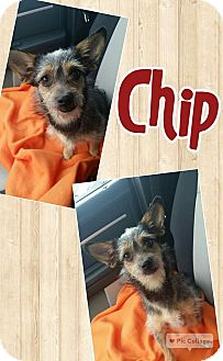 Terrier (Unknown Type, Medium) Mix Dog for adoption in Edwards AFB, California - Chip