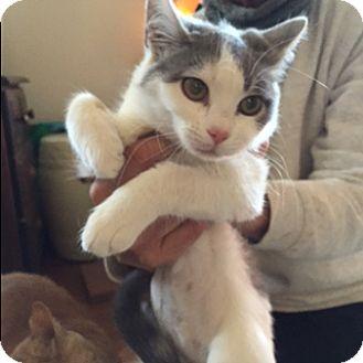 Domestic Shorthair Cat for adoption in Covington, Kentucky - Emily