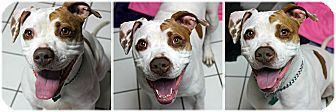 American Staffordshire Terrier Mix Dog for adoption in Forked River, New Jersey - Angie