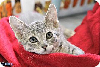 Domestic Shorthair Kitten for adoption in Cedar Rapids, Iowa - Century - V