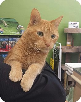 Domestic Shorthair Cat for adoption in Cherry Hill, New Jersey - Rusty