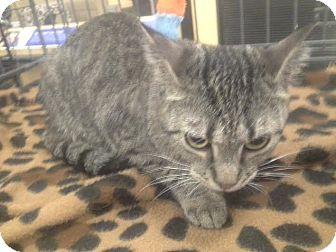 Domestic Shorthair Cat for adoption in Columbus, Ohio - Belle