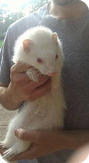 Ferret for adoption in Cleveland, Ohio - Molly