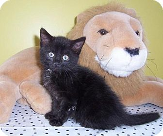 Bombay Kitten for adoption in Taylor Mill, Kentucky - Candace-Sweet kitten