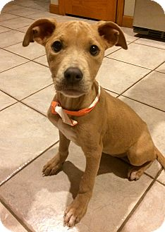 Pit Bull Terrier/Labrador Retriever Mix Puppy for adoption in East Hartford, Connecticut - Dreamer in CT