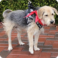 Adopt A Pet :: BENTLEY SR - Las Vegas, NV