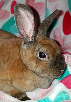 Mini Rex for adoption in Cedar Rapids, Iowa - Cocoa