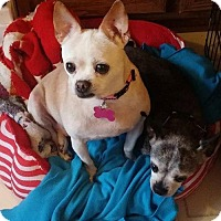 Chihuahua Mix Dog for adoption in Fairfield, Ohio - Missy & Bailey
