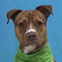 Adopt A Pet :: Pickle - Evansville, IN