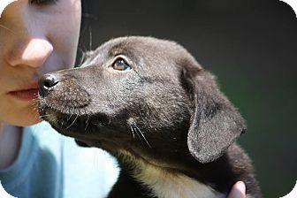 Labrador Retriever Mix Puppy for adoption in Sturbridge, Massachusetts - Bella