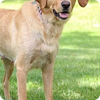 Adopt A Pet :: Goldilocks - New Oxford, PA
