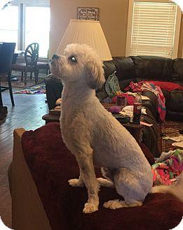 Maltese/Shih Tzu Mix Dog for adoption in Alexander, Arkansas - Henry