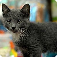 Adopt A Pet :: Meowtaindew - Brooklyn, NY