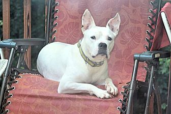 American Bulldog Mix Dog for adoption in Roswell, Georgia - Sally
