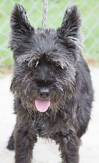 Schnauzer (Miniature) Mix Dog for adoption in Mount Pleasant, South Carolina - Leonardo