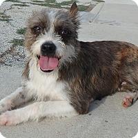 Adopt A Pet :: Abby - Seguin, TX