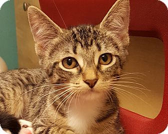 Domestic Shorthair Kitten for adoption in Grayslake, Illinois - Yunasha