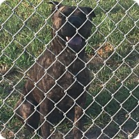 Pit Bull Terrier Mix Dog for adoption in Humble, Texas - Mercy