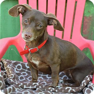 Dachshund/Chihuahua Mix Dog for adoption in Vallejo, California - Nestle
