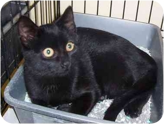Domestic Shorthair Kitten for adoption in Somerset, Pennsylvania - Jimmy