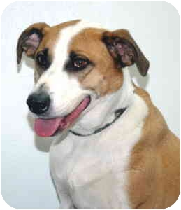 Hound (Unknown Type) Mix Dog for adoption in Port Washington, New York - Chief