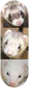 Ferret for adoption in Columbia, Maryland - Bonnie,Clyde&Isis
