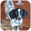 Photo 1 - Beagle/English Setter Mix Puppy for adoption in Wood Dale, Illinois - Gatsby-ADOPT ION PENDING!