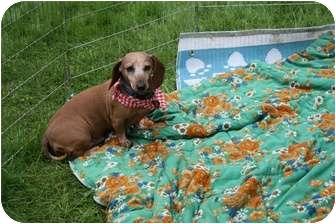 Dachshund Dog for adoption in Killingworth, Connecticut - Nala