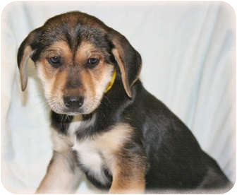 Husky/Hound (Unknown Type) Mix Puppy for adoption in Howell, Michigan - Janis