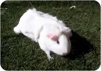 Guinea Pig for adoption in Phoenix, Arizona - Penelopy #2