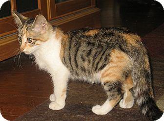 Calico Kitten for adoption in Acme, Pennsylvania - Lovie
