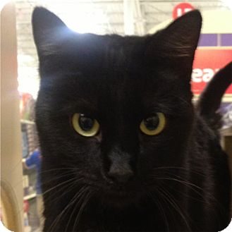 Domestic Shorthair Cat for adoption in Weatherford, Texas - Nellie