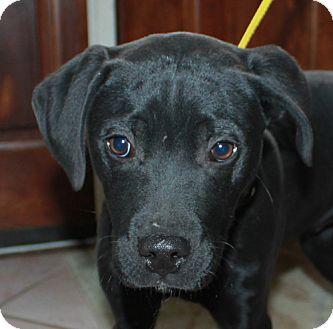 Labrador Retriever Mix Puppy for adoption in Elgin, Illinois - TWITTER