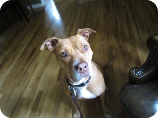 American Pit Bull Terrier Mix Dog for adoption in Los Angeles, California - Missy - NEEDS FOSTER!