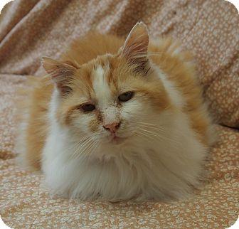 Domestic Mediumhair Cat for adoption in Maple Ridge, British Columbia - Roi