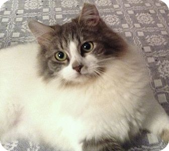 Maine Coon Cat for adoption in Chattanooga, Tennessee - Pita