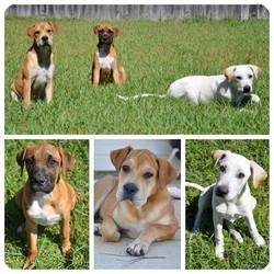 Boxer Mix Puppy for adoption in Mary Esther, Florida - Rosie