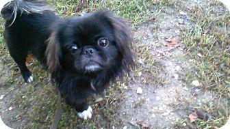 Pekingese Mix Dog for adoption in Waldorf, Maryland - Romeo
