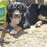 Adopt A Pet :: Chester - Anton, TX